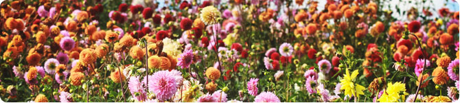 Dahlias from A to Z