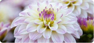 Gallery Dahlias