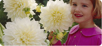 Large Flowers Dahlias