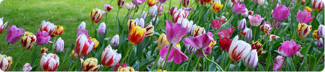 Tulips from A to Z