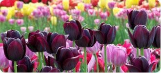 Late-flowering Tulips