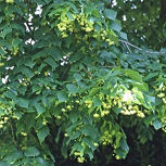 Large-Leaved Lime - Tilia platyphyllos