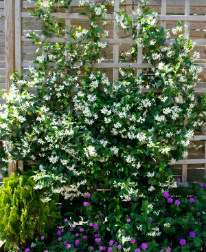 neva 39 s garden rhymes poems star jasmine trachelospermum jasminoides. Black Bedroom Furniture Sets. Home Design Ideas