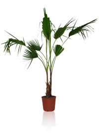 Skyduster Palm or Mexican Palm