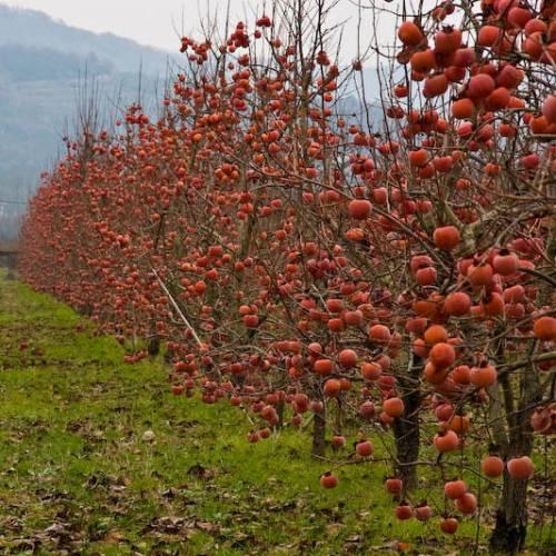 persimmon fruit rojo brillante how to eat