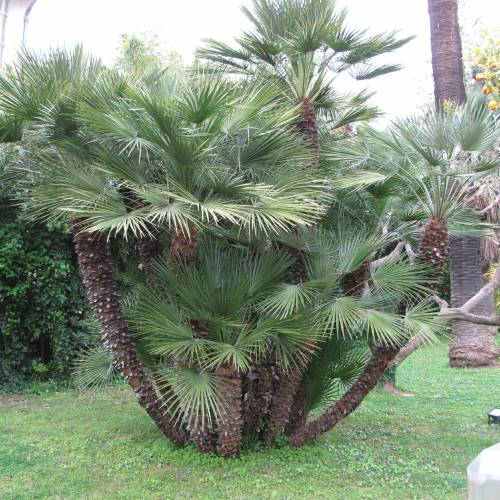 palm dwarf fan buy palm dwarf fan chamaerops humilis. Black Bedroom Furniture Sets. Home Design Ideas