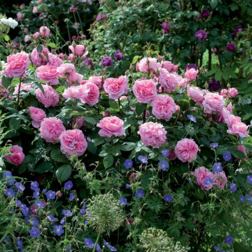 Rose 'Gertrude Jekyll' : buy Rose 'Gertrude Jekyll' / Rosa Gertrude on
