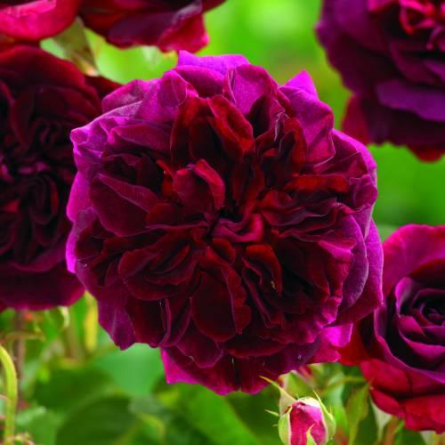 rose 39 munstead wood 39 buy rose 39 munstead wood 39 rosa munstead wood. Black Bedroom Furniture Sets. Home Design Ideas