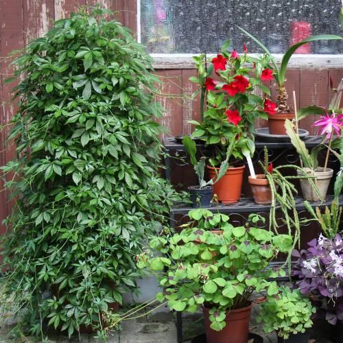 50 seeds Jiaogulan IMMORTALITY VINE Gynostemma pentaphyllum