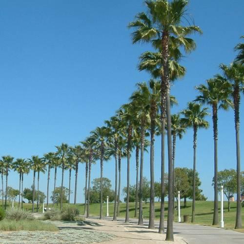 palm skyduster buy palm skyduster washingtonia robusta. Black Bedroom Furniture Sets. Home Design Ideas