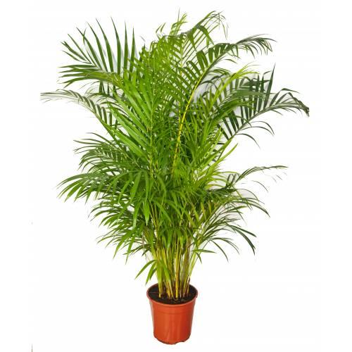 Areca c22 buy areca c22 chrysalidocarpus lutescens - Plantas resistentes de interior ...