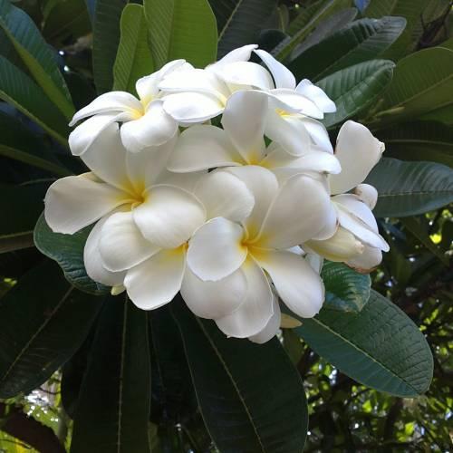 Frangipani, White : buy Frangipani, White / Plumeria alba