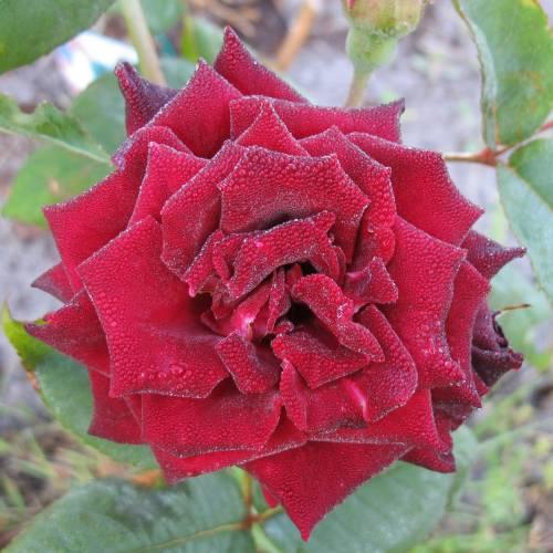rose 39 black baccara 39 buy rose 39 black baccara 39 rosa. Black Bedroom Furniture Sets. Home Design Ideas