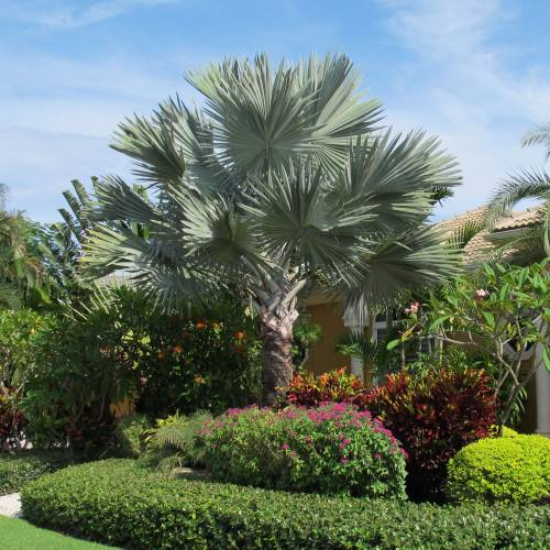 Palm bismarck buy palm bismarck bismarckia nobilis for Palmier nain exterieur
