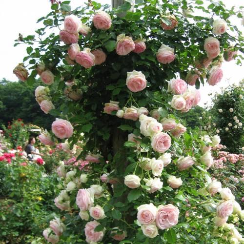 Rose 39 pierre de ronsard 39 buy rose 39 pierre de ronsard for Pierre de ronsard rosa