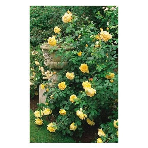 rose 39 golden celebration 39 buy rose 39 golden celebration. Black Bedroom Furniture Sets. Home Design Ideas