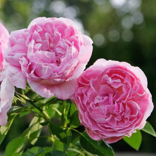 rose 39 mary rose 39 buy rose 39 mary rose 39 rosa mary rose. Black Bedroom Furniture Sets. Home Design Ideas