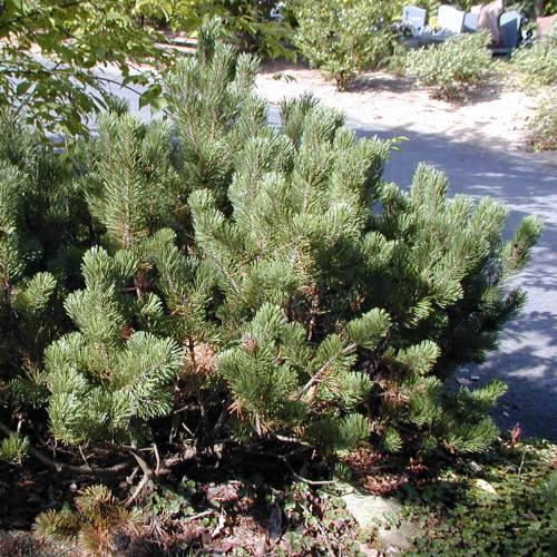 pine dwarf mugo mughus buy pine dwarf mugo mughus. Black Bedroom Furniture Sets. Home Design Ideas