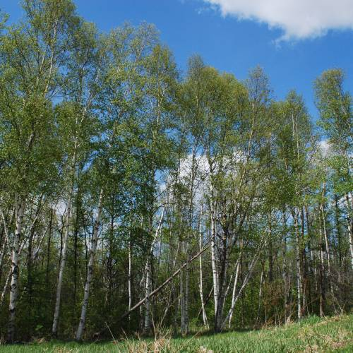 a review of birch paper company Betula papyrifera (paper birch, also known as white birch and canoe birch) is a short-lived species of birch native to northern north americapaper birch is named due to the thin white bark which often peels in paper like layers from the trunk.