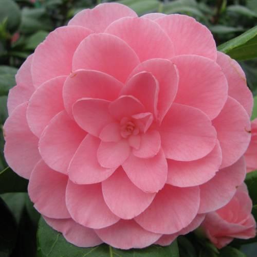 Japanese camellia 39 nuccio 39 s cameo 39 buy japanese camellia - Cuidados de la camelia japonica ...