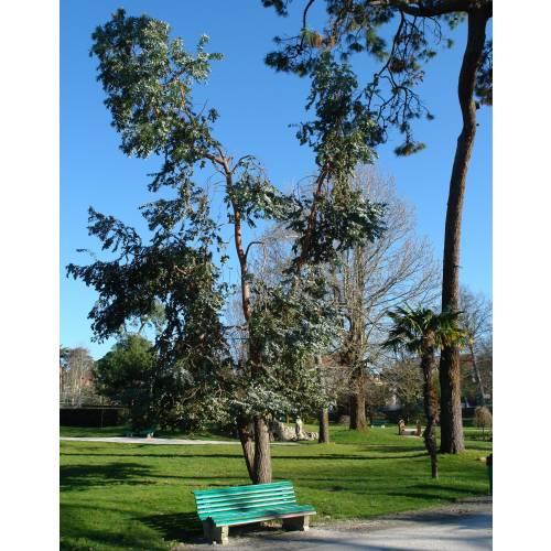 Eucalyptus tree cider gum buy eucalyptus tree cider gum eucalyptus gunnii - Eucalyptus gunnii en pot ...