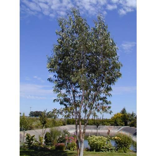 eucalyptus tree snow gum buy eucalyptus tree snow gum. Black Bedroom Furniture Sets. Home Design Ideas