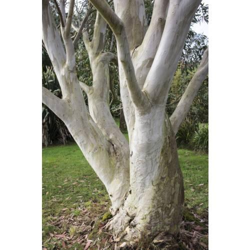 Eucalyptus Tree Snow Gum Buy Eucalyptus Tree Snow Gum