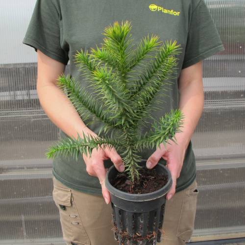 Monkey Puzzle Tree Buy Monkey Puzzle Tree Araucaria Araucana
