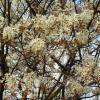 Serviceberry, canadian