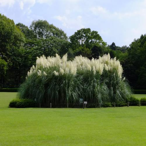 pampas grass buy pampas grass cortaderia selloana. Black Bedroom Furniture Sets. Home Design Ideas
