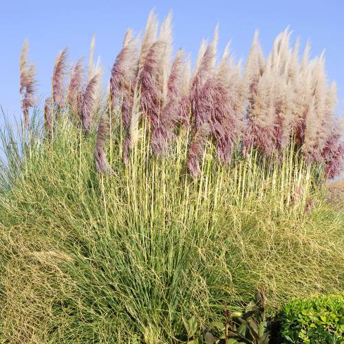 pampas grass pink buy pampas grass pink cortaderia. Black Bedroom Furniture Sets. Home Design Ideas
