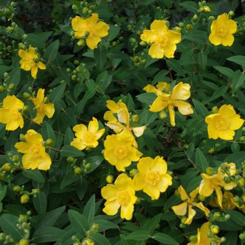 Rose Of Sharon Buy Rose Of Sharon Hypericum Calycinum