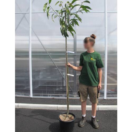 castanea latin singles Castanea sativa, or sweet chestnut  the latin sativa means cultivated by humans [3]  both cultivars bear fruits with a single large kernel, .