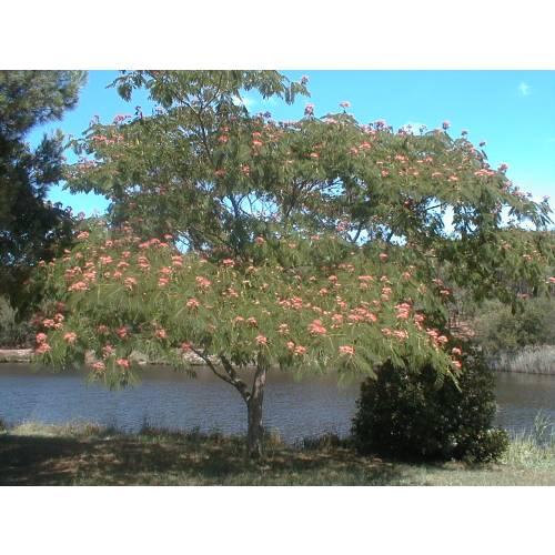 silk tree 39 ombrella 39 buy silk tree 39 ombrella 39 albizia julibrissin 39 ombrella 39. Black Bedroom Furniture Sets. Home Design Ideas
