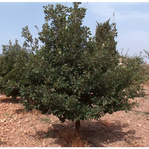Truffle downy oak - Tuber melanosporum : buy Truffle downy