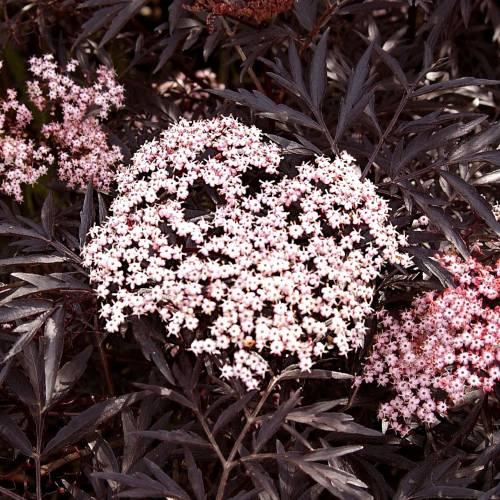 elderberry black lace buy elderberry black lace sambucus nigra black lace. Black Bedroom Furniture Sets. Home Design Ideas