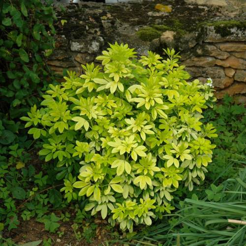 Orange mexican sundance buy orange mexican sundance choisya ternata sundance - Oranger du mexique feuilles jaunes ...