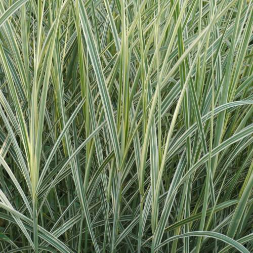 Chinese Silver Grass Silver Grass, V...