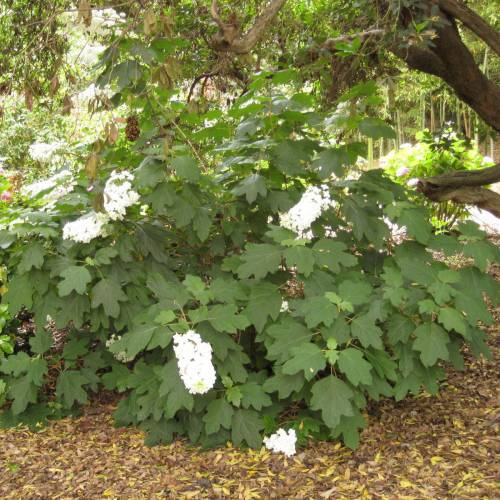 Hydrangea oak leaved buy hydrangea oak leaved for Hydrangea quercifolia