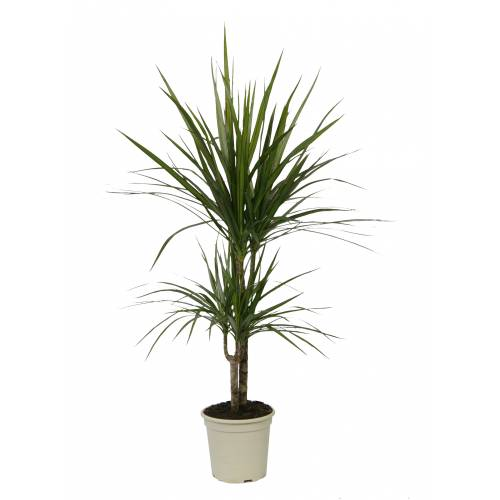 dracaena marginata c17 buy dracaena marginata c17. Black Bedroom Furniture Sets. Home Design Ideas