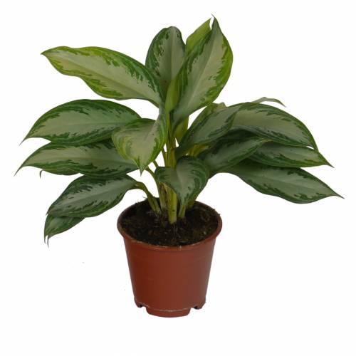 Chinese evergreen 39 silver bay 39 c12 buy chinese for Plante interieur