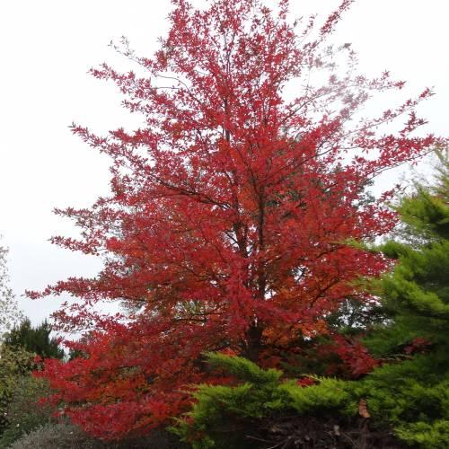 Black tupelo gum tree pictures — 2