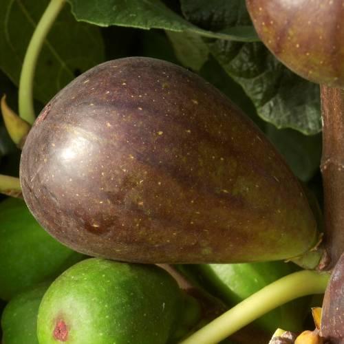 fig tree 39 brown turkey 39 buy fig tree 39 brown turkey. Black Bedroom Furniture Sets. Home Design Ideas