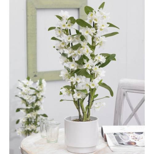 Orchid Dendrobium Nobile - White - C12 : buy Orchid ...