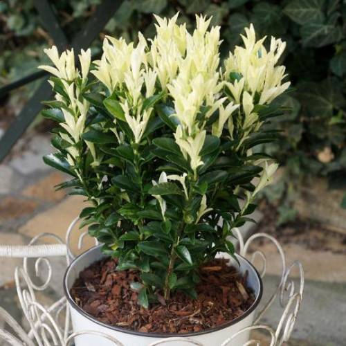 Euonymus Japonicus Paloma Blanca Evergreen Spindle Variegated Garden Shrub