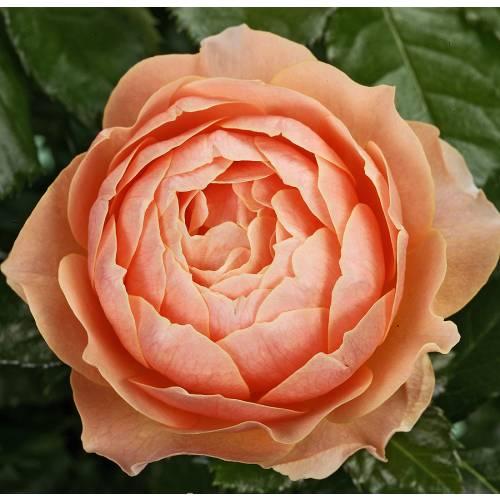 Rose Apricot Terrazza Buy Rose Apricot Terrazza Rosa