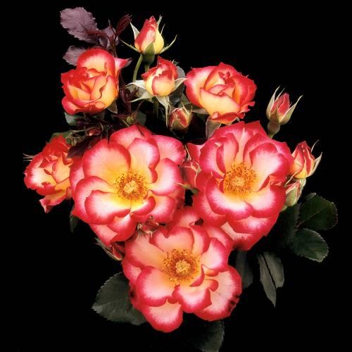 rose 39 betty boop 39 buy rose 39 betty boop 39 rosa betty boop. Black Bedroom Furniture Sets. Home Design Ideas