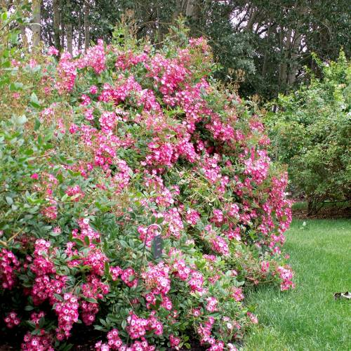 rose 39 mozart 39 buy rose 39 mozart 39 rosa mozart. Black Bedroom Furniture Sets. Home Design Ideas
