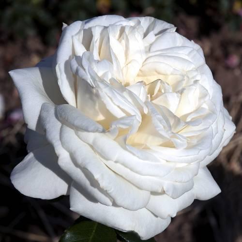 Rose U0027Pierre Arditiu0027