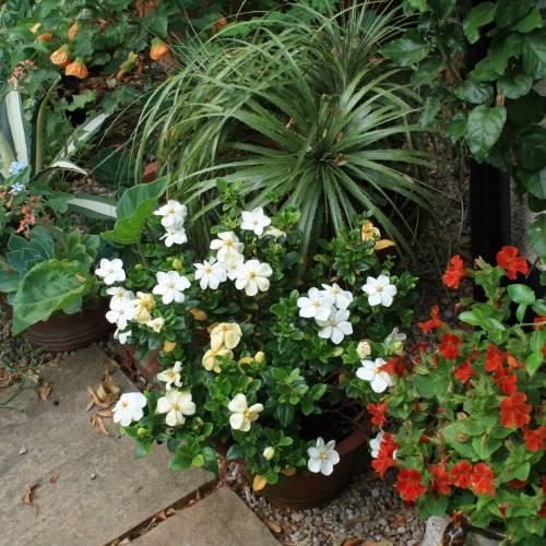 Gardenia Kleim S Hardy Buy Gardenia Kleim S Hardy Gardenia